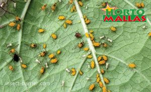 Aphid infection