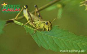 Hungry locust